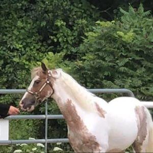 Pony size show halter, needs repair